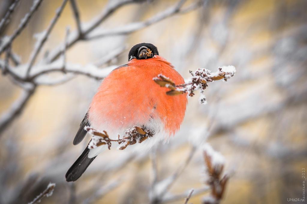 Птицы республики коми фото