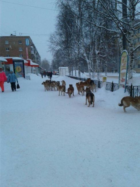 собаки оккупировали Ухту