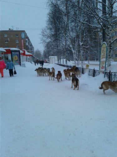 собаки в Ухте